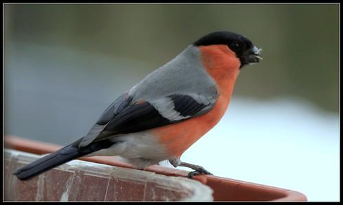 les visiteurs à plumes sauvages - 3 26264359168_d266a2422f