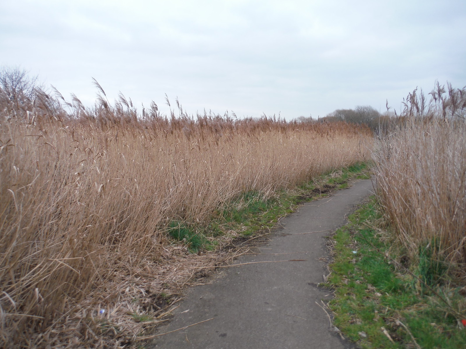 Through Reed, Beam Valley Country Park SWC Short Walk 33 - Dagenham Parks, Rivers and Ponds