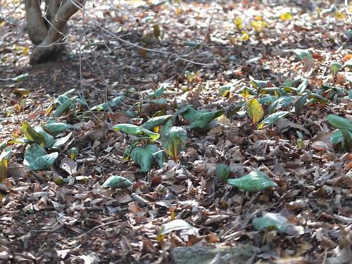 かたくりの葉