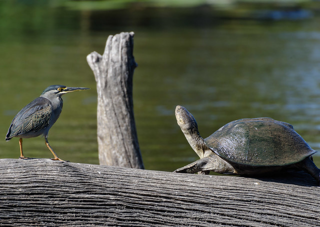 The tortoise and the heron