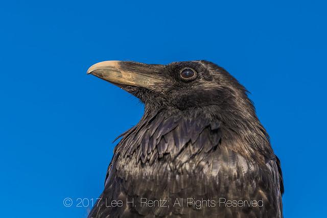 Common Raven Portrait in Canyonlands National Park