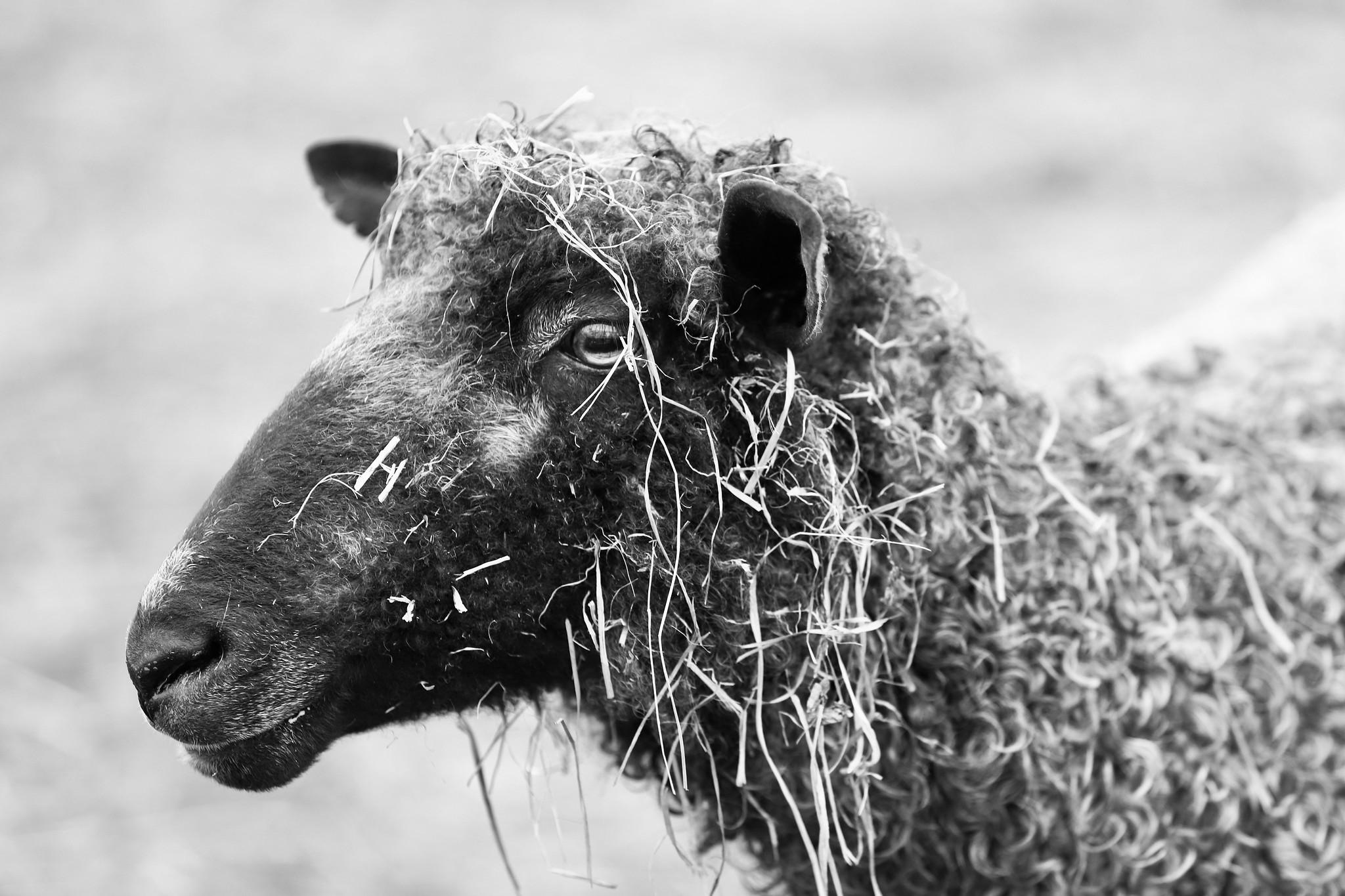 Sawkill Farm Sheep