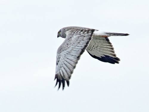 Northern Harrier male 01-20180123