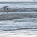 Pintail  Geese