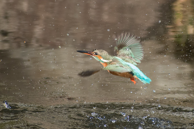 20180125-kingfisher-DSC_5487
