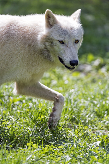 Another arctic wolf