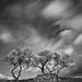 trees in the wind by Octavian Photography
