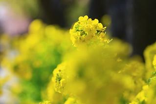 河津桜 と 三日月
