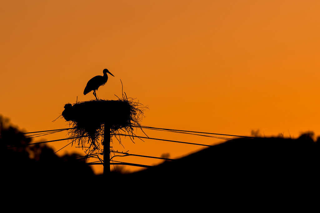 White Stork Silhouette At Sunset