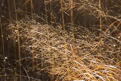 Switch-Grass-_E0A0371