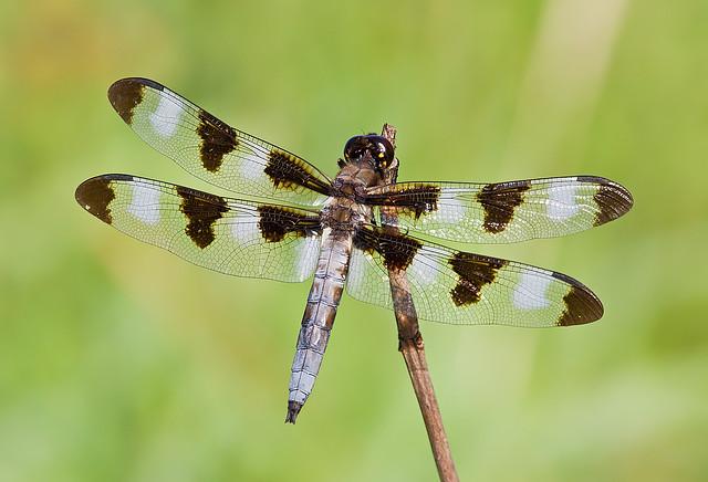 Twelve-spotted Skimmer (Libellula pulchella)