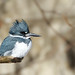 Belted Kingfisher by Rich McPeek