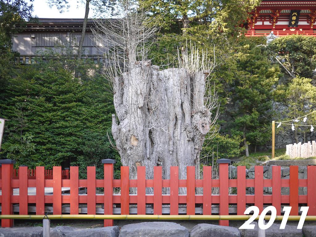 Tsurugaoka Hachimangū | The Giant Ginkgo 2011