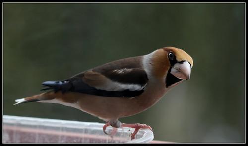 les visiteurs à plumes sauvages - 3 40137966011_8d2bfbc387