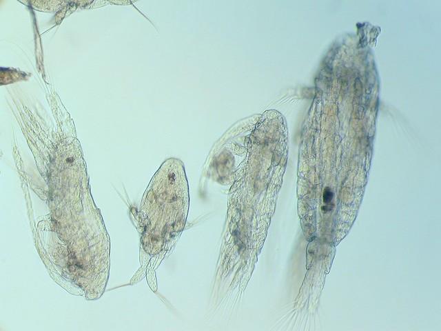 Acartia CIV_V, nauplius, CI_III, A. bifilosa F l=1800 Seili 20032002