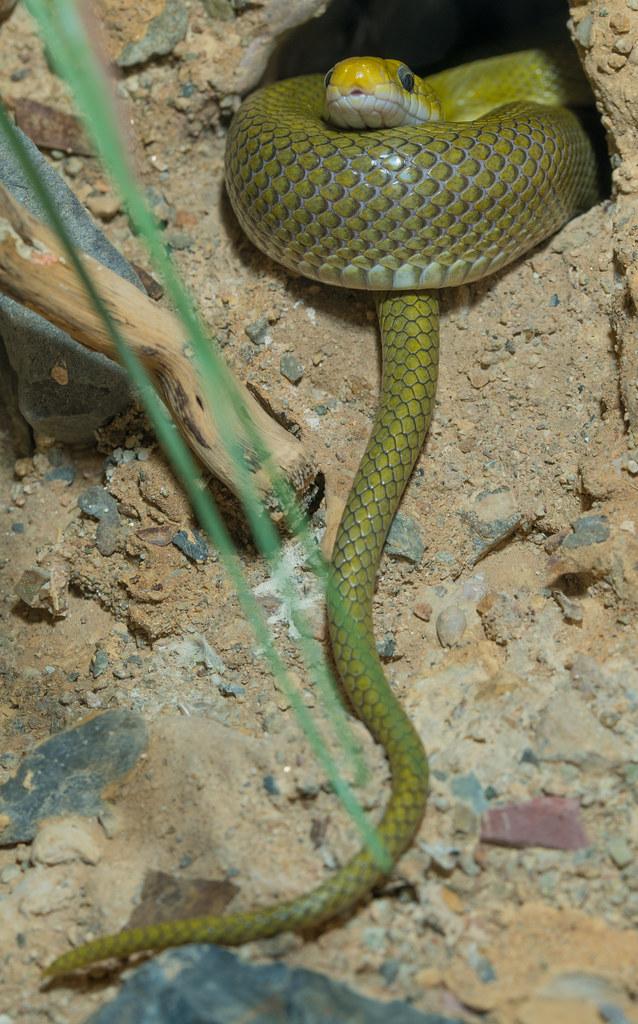 Green Rat Snake_1