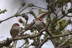 Red-browe Finch  ( taking a little rest )