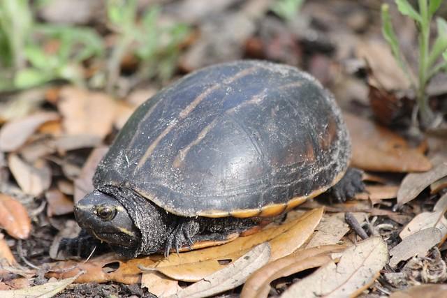 Striped Mud Turtle (Kinosternon baurii)