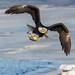 IMG_8943 american bald eagle
