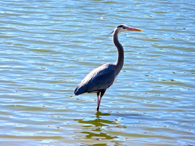 great heron warms up in the sun