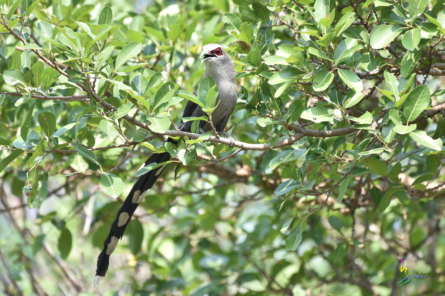 Green-billed_Malkoha_7821