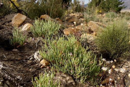 Pelargonium laevigatum subsp. diversifolium