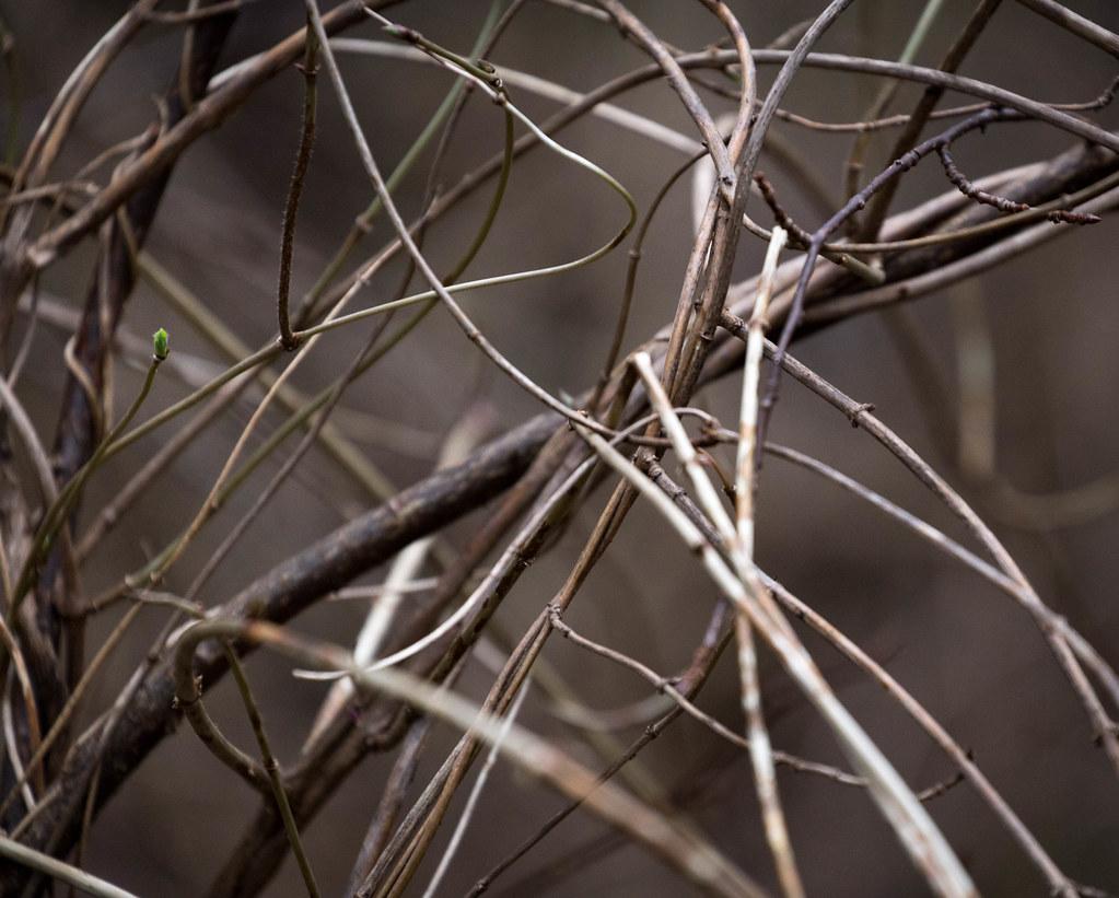 Scrubby bush with green bud