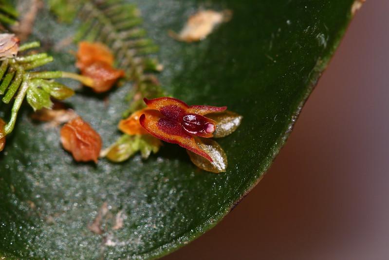 Miniatur-Orchideen Teil 4 27549780879_7080b24136_c