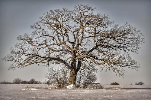 tree field farmfield oaktree trees oak symmetrical symmetry quercusmacrocarpa fagaceae oshkosh wisconsin oshkoshwisconsin stately statelyoak buroak burroak snow winter dormanttree deciduous deciduoustree hdr