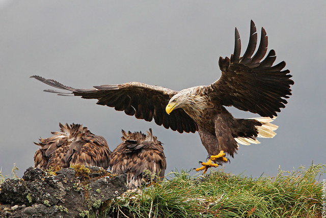 White-tailed Eagle (Haförn) 219