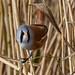 Bearded Tits Silverdale RSPB F00056 D210bob DSC_7735