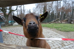 Pygmy goat @ Zoo @ Bois de la Bâtie @ Geneva