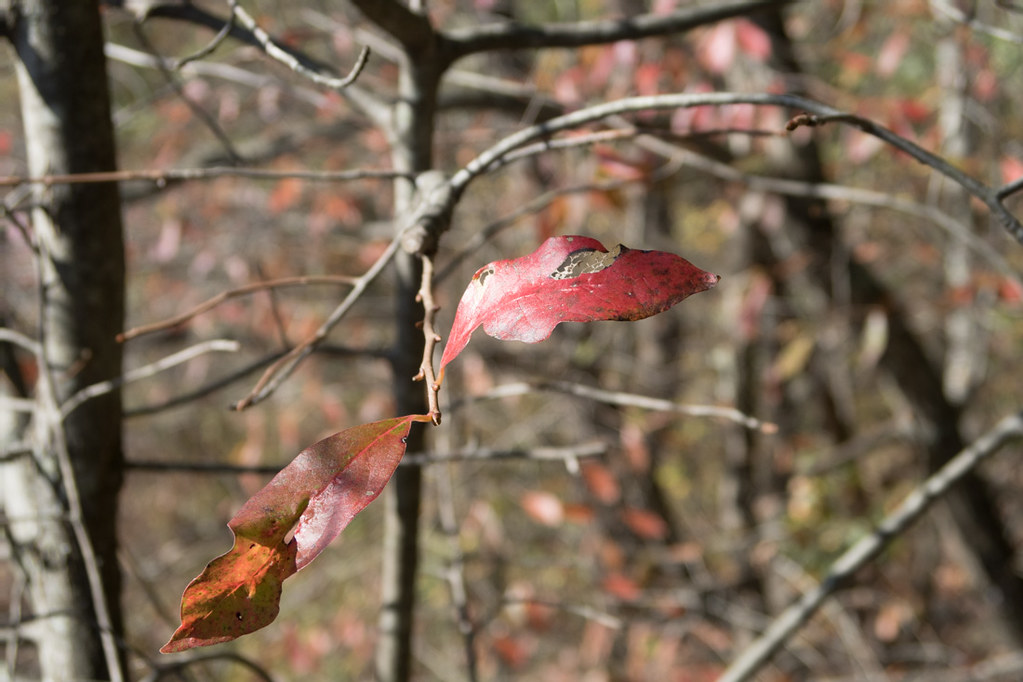 Fall leaf color at Ohiopyle State Park