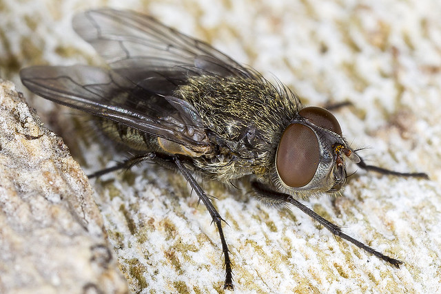 361/365  Cluster fly (Pollenia)