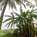 Mexican Banana Trees por Shane Adams Photography