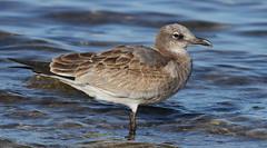 Laughing Gull (first winter bird)- Hudson Beach