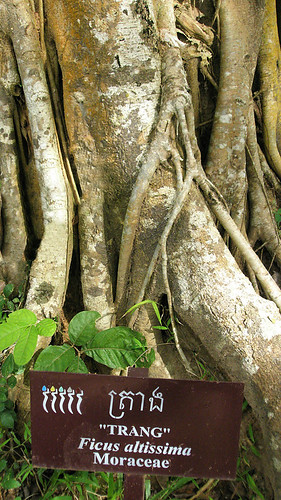 Ficus Benjamina, a twining tree at Angkor Wat, Cambodia