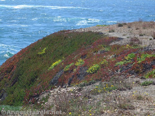 Coastal greenery and flowers along the Coastal Trail south of Glass Beach, California