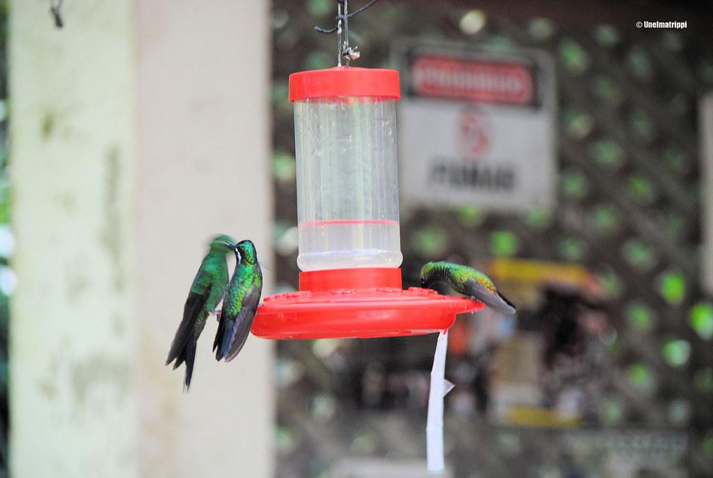 Kolibreja luontokeskuksessa, Santa Elena, Monteverde, Costa Rica