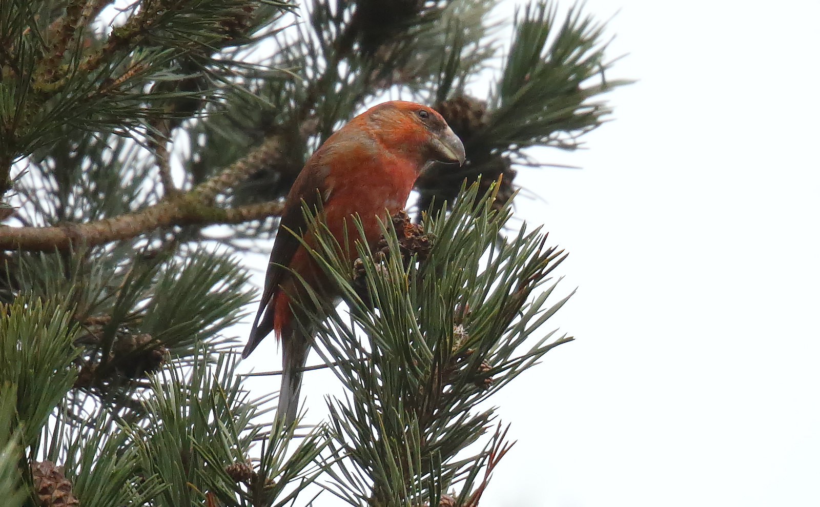Parrot Crossbill - male