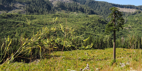 This is 'Big Lonely Doug', the last remaining fir tree in a clear cut near Port Renfrew on Vancouver Island, Canada