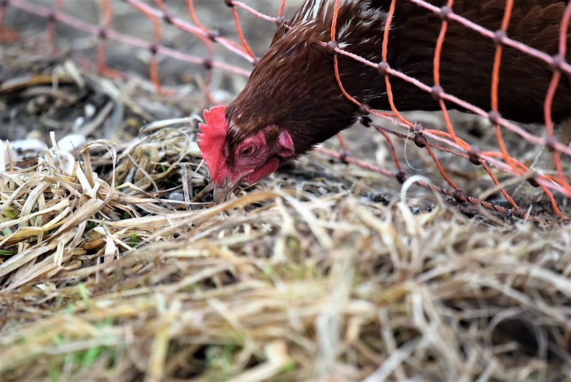 Chickens 06.01 (15)