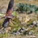 チョウゲンボウ Common Kestrel by myu-myu