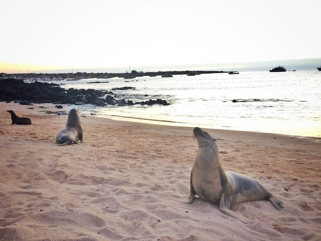 Sea lions on the beach in San Cristobal Galapagos as sunset.