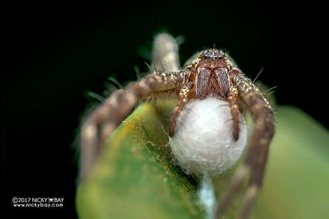 Nursery web spider (Dendrolycosa sp.) - DSC_2851