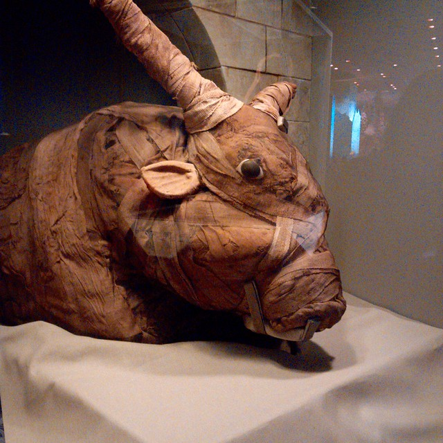 Mummified bull at the Smithsonian Natural History Museum