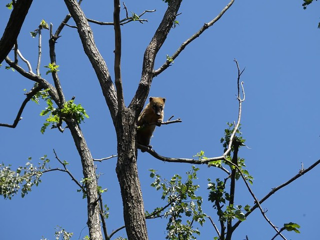 Nasenbär, Zoo Brno