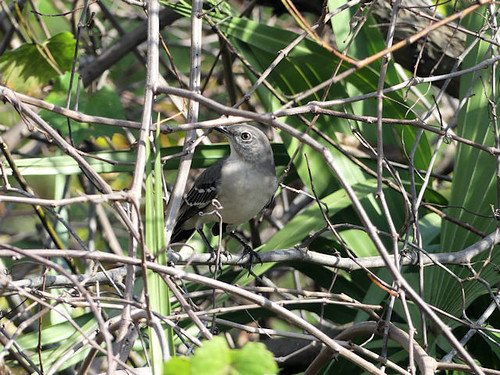 Finally Northern Mockingbird (Mimus polyglottos) at Gatorland