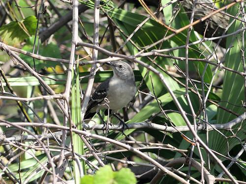 Finally Northern Mockingbird (Mimus polyglottos) at Gatorland