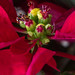 New Year's Poinsettia